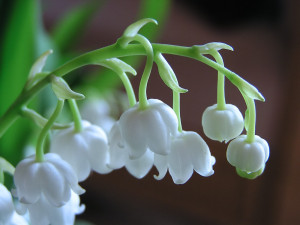 lily-of-valley-02